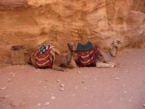 Camels taking a break
