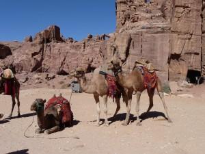 Camels for rent